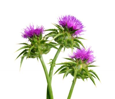 Milk thistle is not only good for your liver – it can protect you from the toxic effects of chemotherapy, too