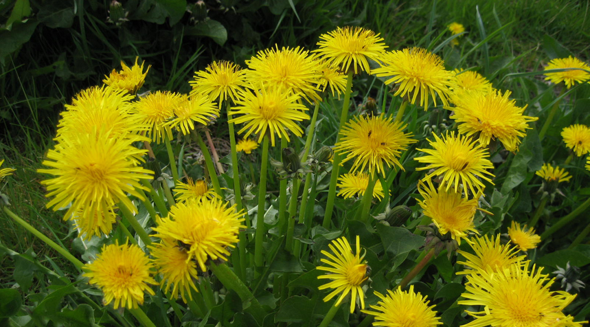 5 weeds that are actually pretty good medicines.